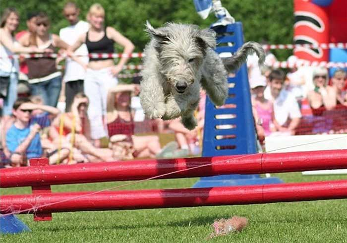 Terrier jumping pole