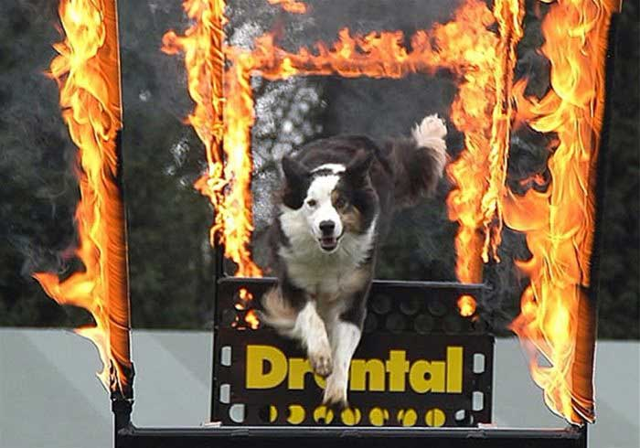 Dog jumping through flames